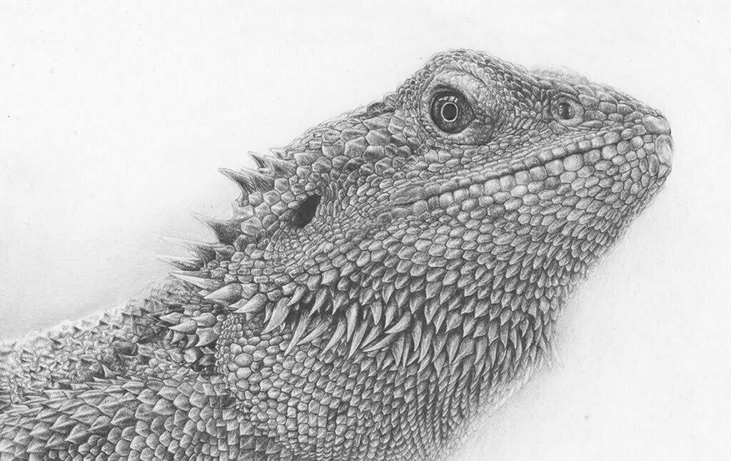 2D Iguana Realistic Pencil Creature Illustration Thumbnail