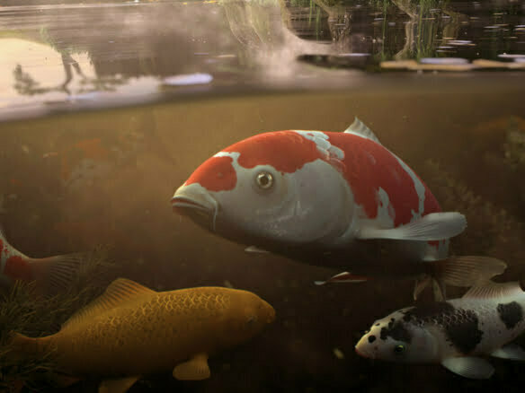 3D Rendered Koi Carp Fish In Pond Illustration